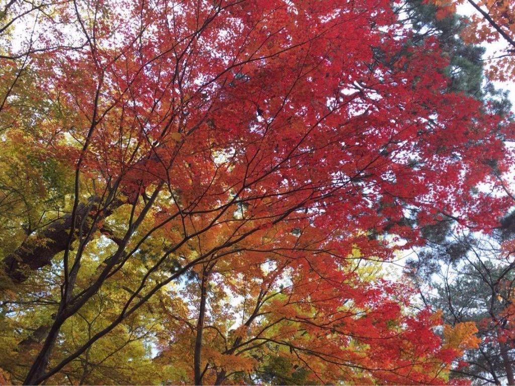 "Enjoying Autumn in ""Seifuso Momiji Park"" Yamagata"