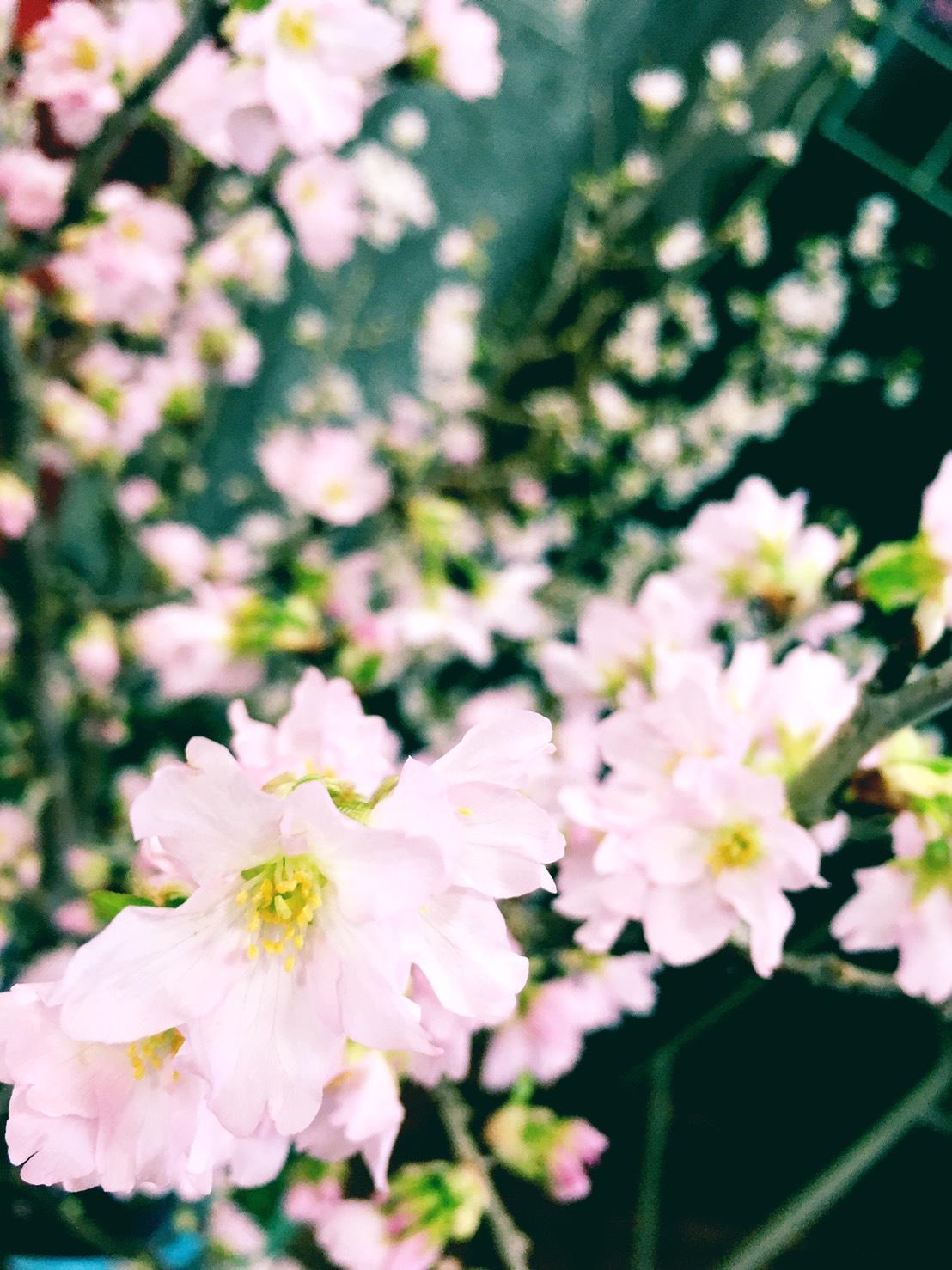 冬季也开花!山形特有植物启翁樱
