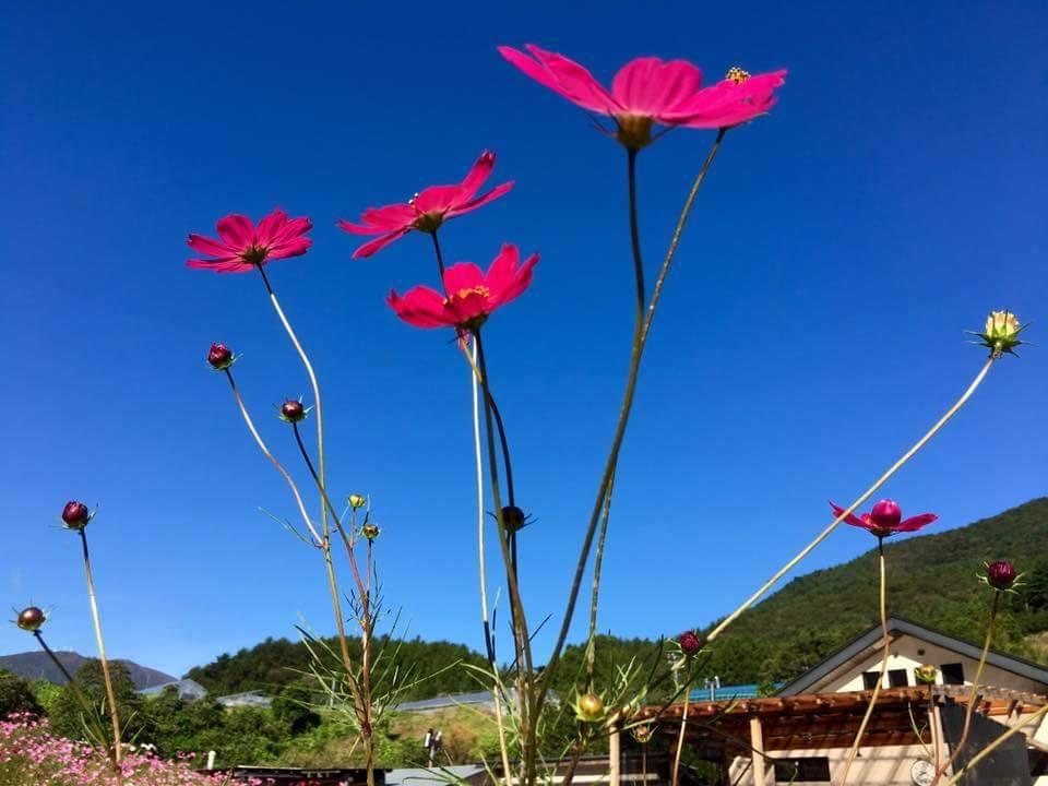 笑顔が咲く場所 ~岩手県釜石市:コスモス公園~