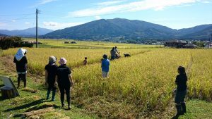Tried rice harvesting in Ichinoseki city/ Tono city in Iwate pref.