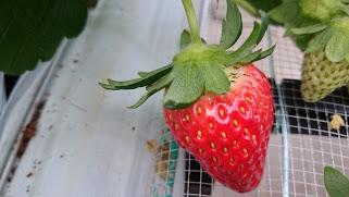 We go strawberry picking in Yamamoto, Miyagi!