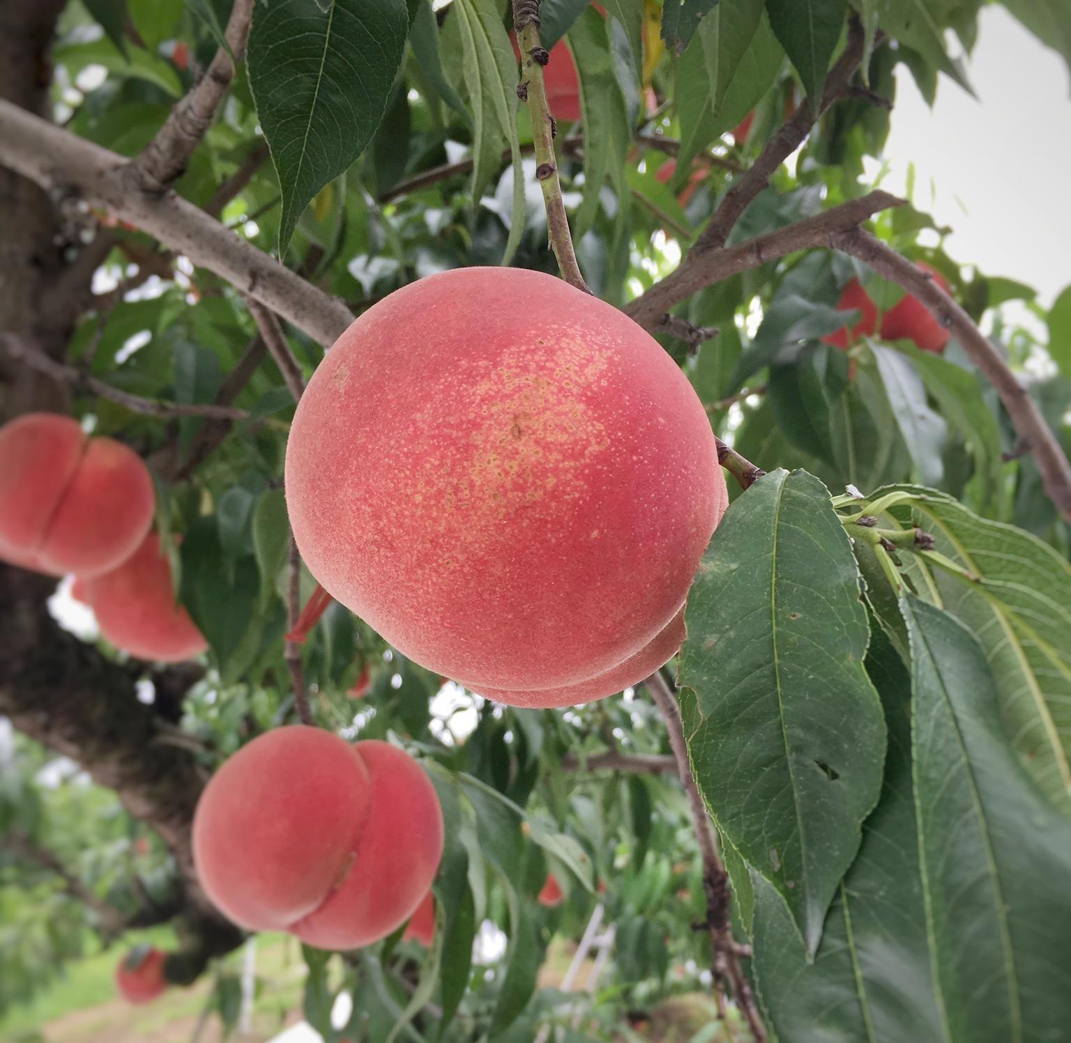 "A ""Peach"" tour in Korimachi, Fukushima Prefecture!"