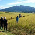稲刈り1-300x169